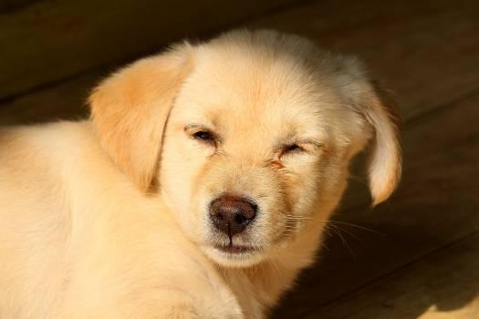 Golden retriever Retriever Dog Free Photo