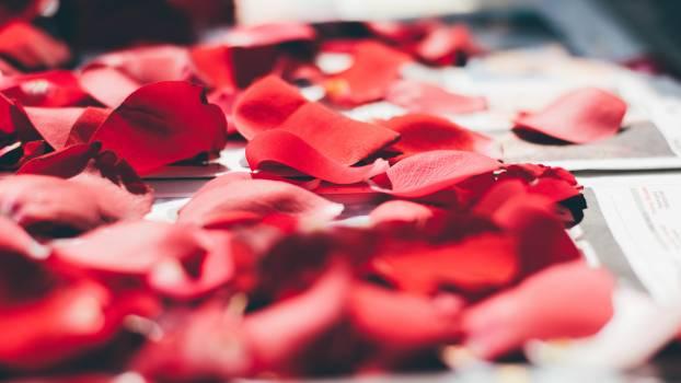 Petal Gift Rose Free Photo