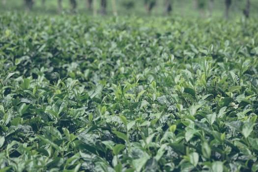 Plant Herb Leaf #245291