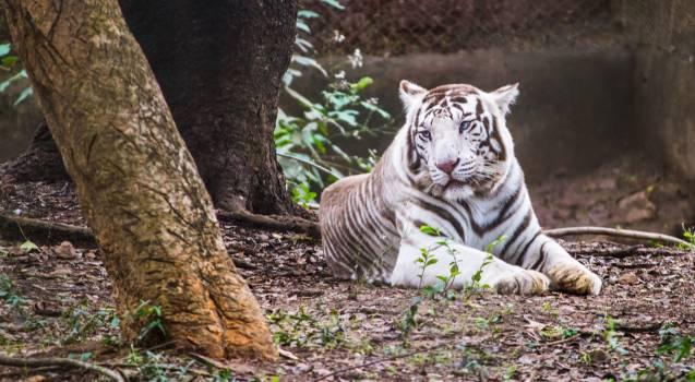 Feline Cat Tiger Free Photo