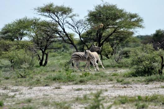Equine Zebra Ungulate #245385