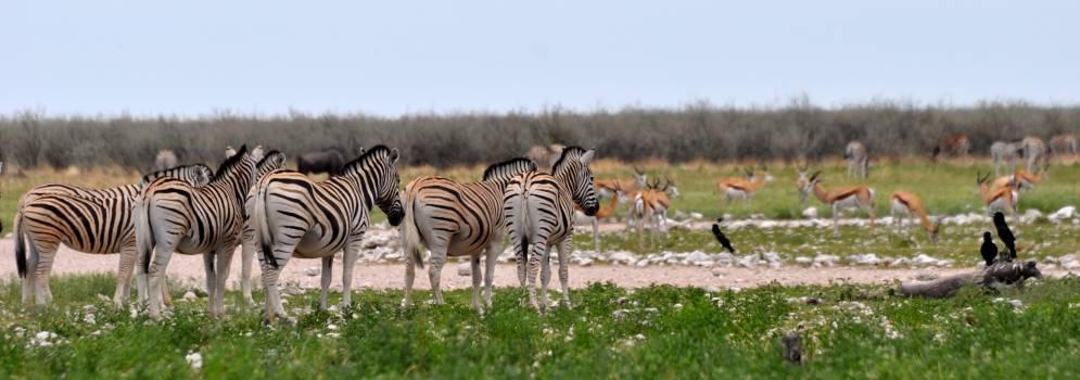 Equine Zebra Ungulate #245390