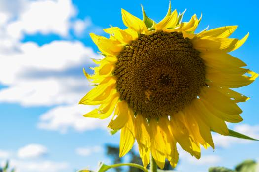 Sunflower Flower Yellow #245770