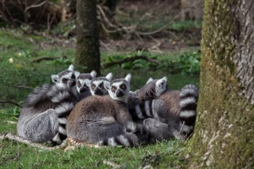 Primate Lemur Madagascar cat #246006
