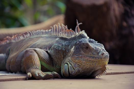 Lizard Common iguana #246010