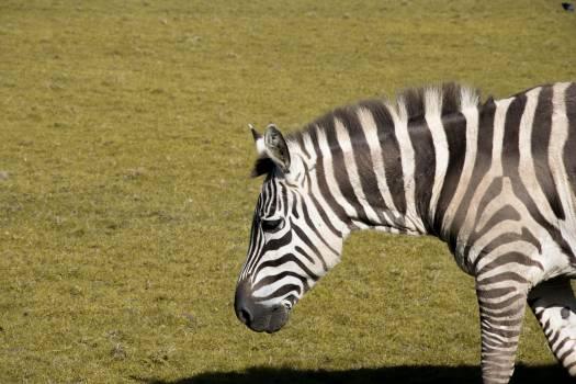 Equine Zebra Ungulate #246014