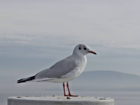seagull bird animals #24615