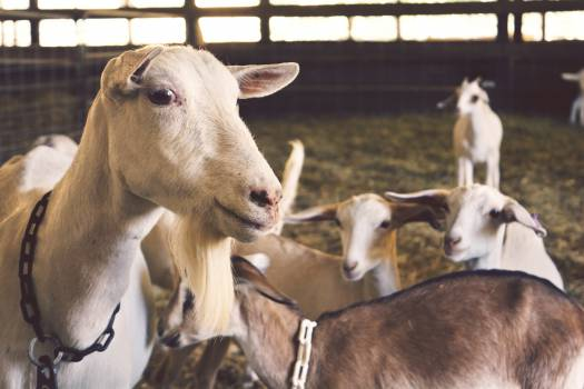goats animals farm Free Photo