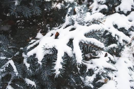 Snow Winter Fir #246479