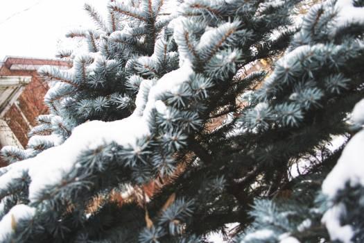Fir Snow Winter #246480