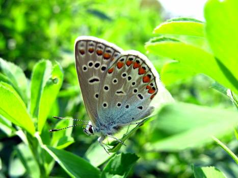 Butterfly Blue Lycaenid Free Photo