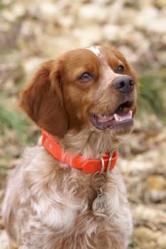 Retriever Sporting dog Dog Free Photo