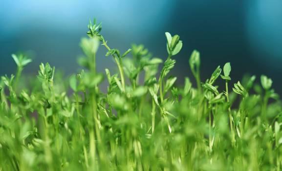 Grass Crop Field Free Photo