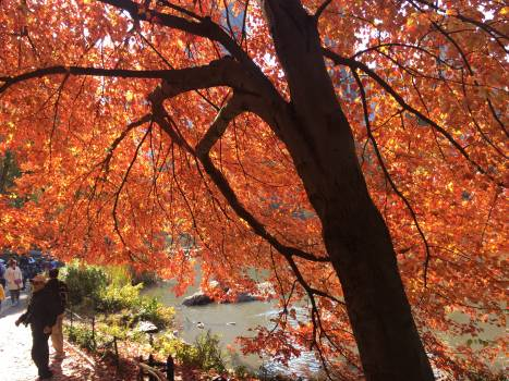 Maple Autumn Leaves #247622