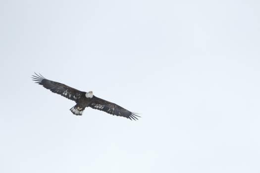 Bird Kite Hawk #247695