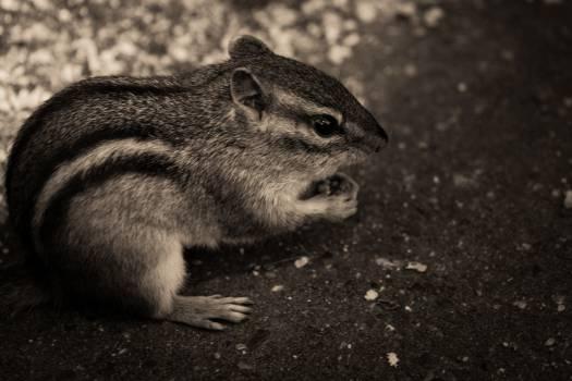 chipmunk animals black and white #24784