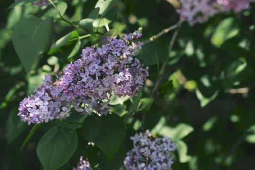Lilac Flower Floral Free Photo
