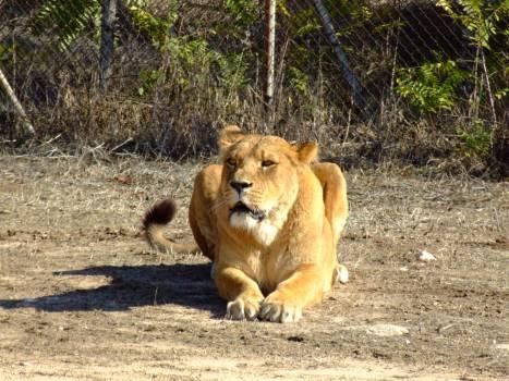 Big cat Lion Feline #247958