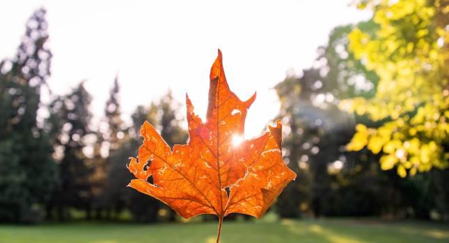 maple leaf leaves autumn #24814