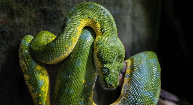 Green snake Snake Reptile Free Photo