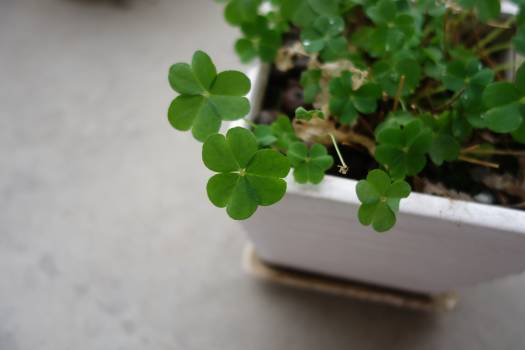 Clover Plant Leaf Free Photo