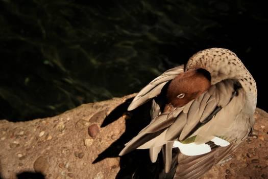 Dove Bird Hunter Free Photo
