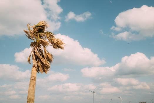 Tree Sky Coconut #248975
