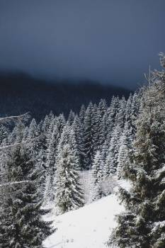 Fir Snow Tree #249097