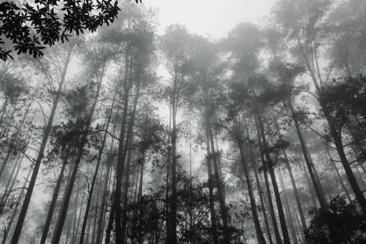 Tree Fir Pine #249290