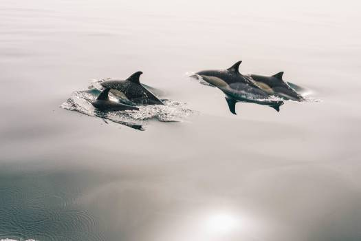 dolphins animals ocean Free Photo