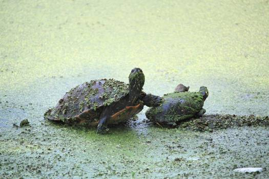Terrapin Turtle Reptile Free Photo