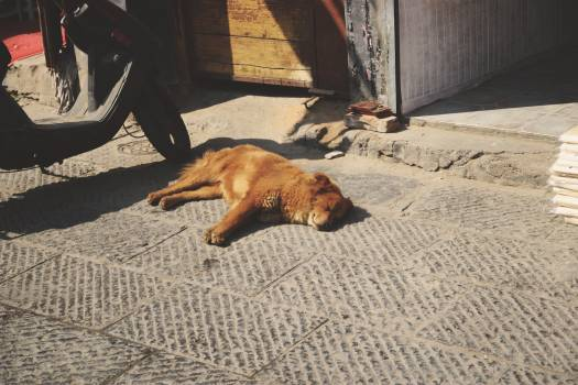 Hunting dog Irish terrier Terrier #249702