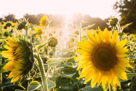 sunshine yellow sunflowers #24975