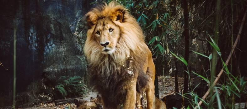 Big cat Lion Feline #249781