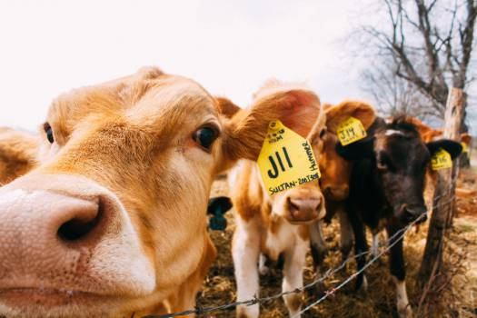 cows animals farm #24978