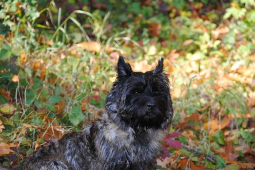 Cairn Terrier Hunting dog #249803