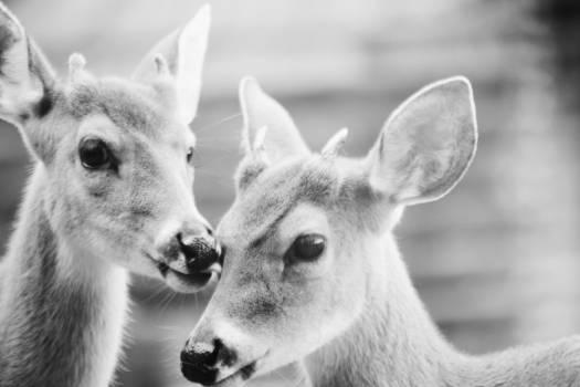 Deer Caribou Animal Free Photo