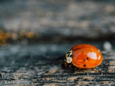 ladybug ladybird insect #24996