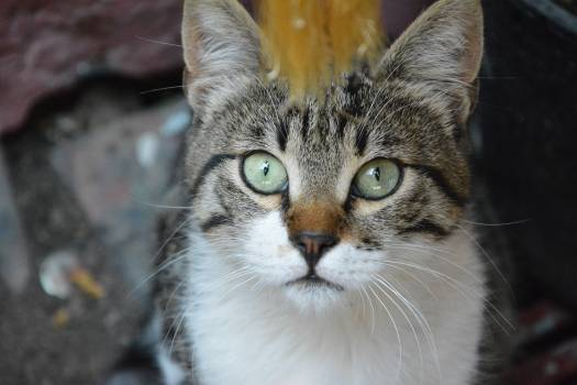 Cat Feline Animal #250144