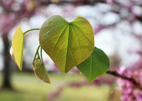 Plant Leaf Maple #250360