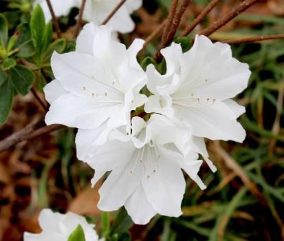 Rose Shrub Flower #250369