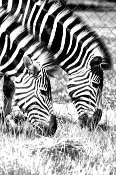 Equine Zebra Ungulate #250680