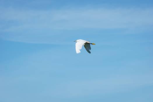 crane bird flying Free Photo