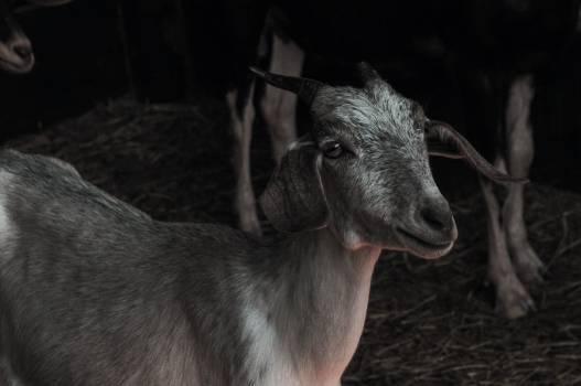Hound Goat Hunting dog #251013