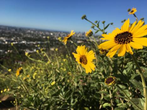 Sunflower Flower Yellow #251177