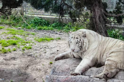 Feline Big cat Snow leopard Free Photo