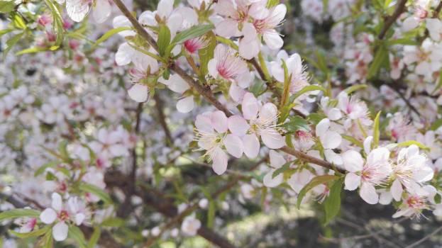 Lilac Flower Shrub Free Photo
