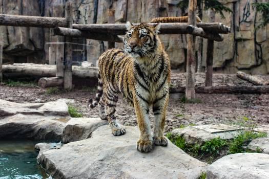 Feline Big cat Tiger #251637