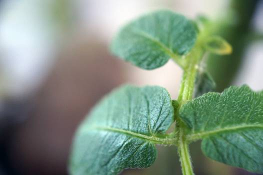 Mint Herb Plant Free Photo