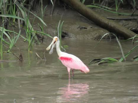 Wading bird Spoonbill Aquatic bird #252945